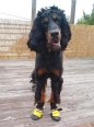 Gordon Setter, 10 months, Black